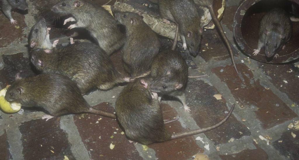 уничтожение крыс в Камызяке