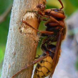 Уничтожение шершней в Камызяке